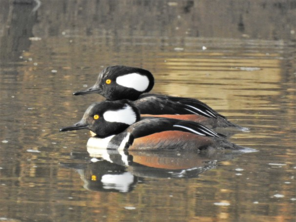Hooded Mergansers (Males)