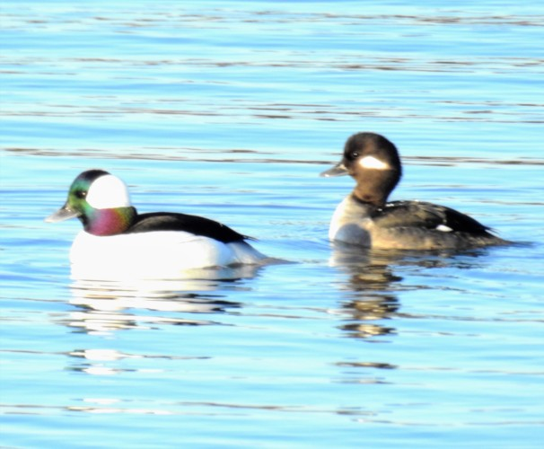 A pair of buffleheads