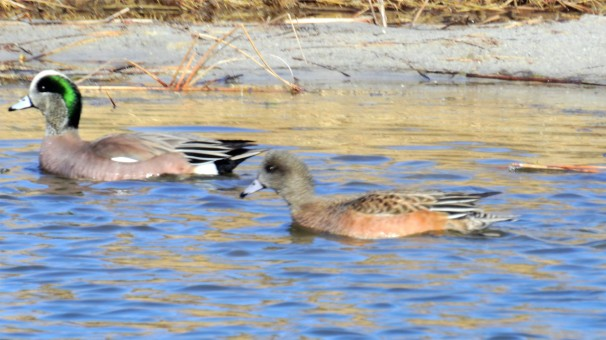 A pair of American Wigeons