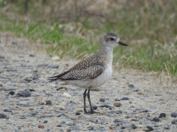 Black-bellied Plover/ Grey Plover
