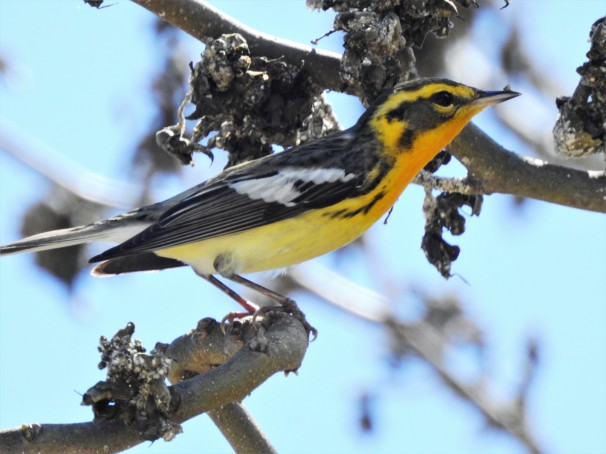 Blackburnian Warbler in Mahogany Bay, Honduras.