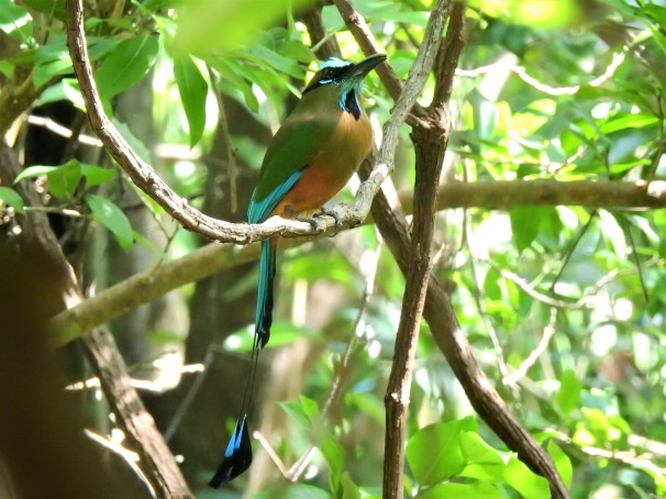 Turquoise-browed Motmot in Mexico.