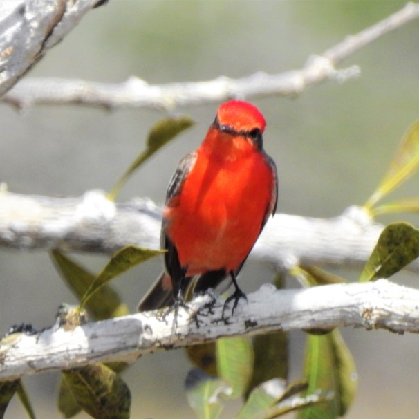 Vermilion Flycatcher in Belize.