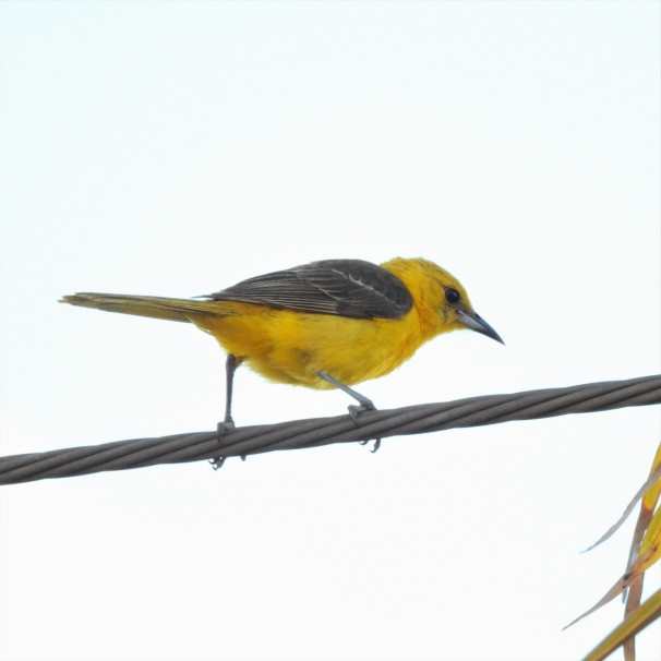 Hooded Oriole (Female) in Costa Maya, Mexico.