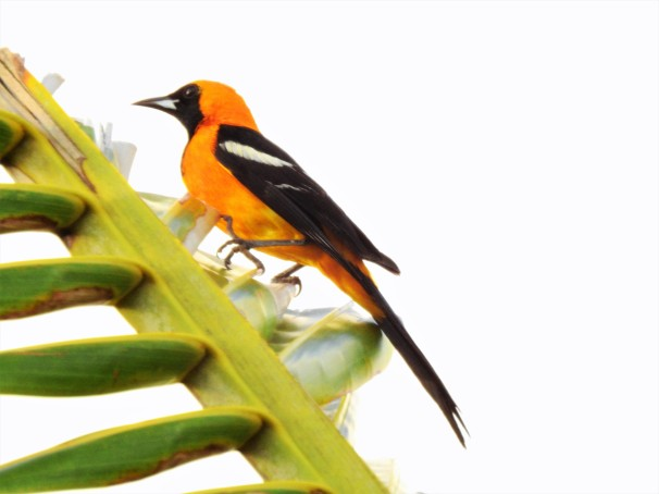 Hooded Oriole in Costa Maya, Mexico.