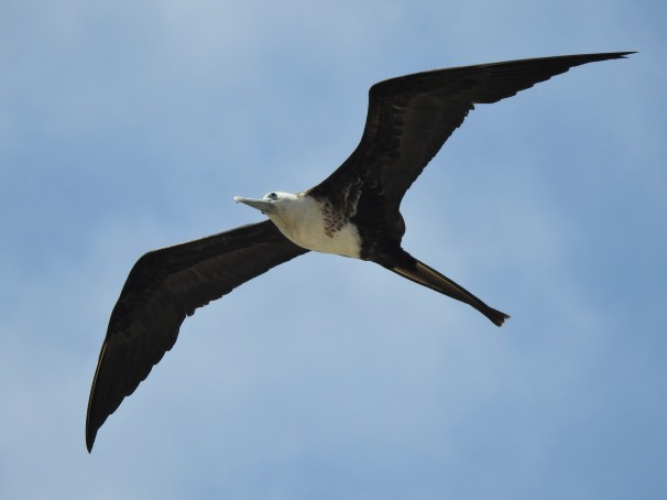 Magnificent Frigatebird (Female), Mexico Birds, Costa Maya,