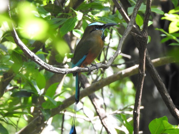 Turquoise-browed Motmot, Mexican Birds,