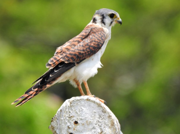 American Kestrel in Jamaica.