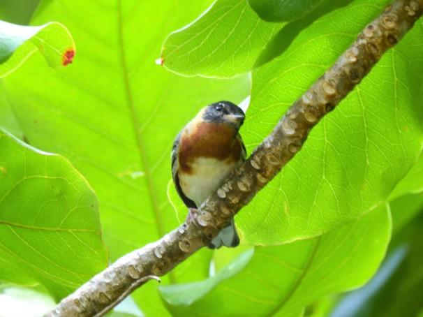Bay-breasted Warbler in Roatan, Honduras.