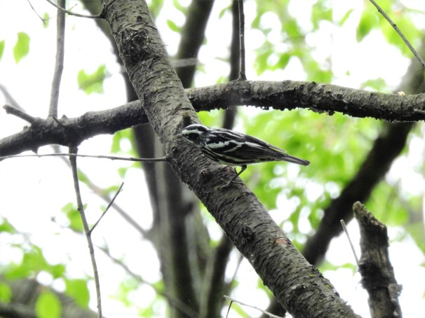 Black-and-white Warbler in Pennsylvania.