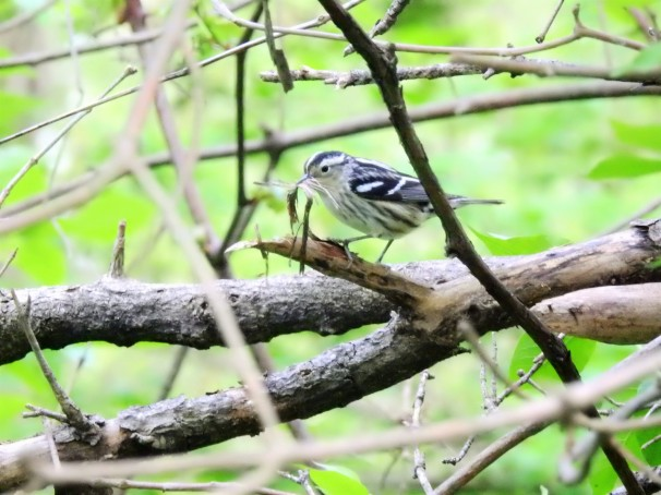 Black-and-white Warbler at Magee Marsh in Ohio.