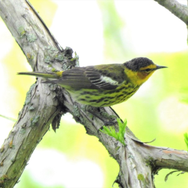 Cape May Warbler at Magee Marsh in Ohio.