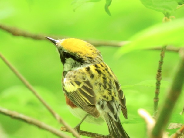 Chestnut-sided Warbler at Magee Marsh in Ohio.