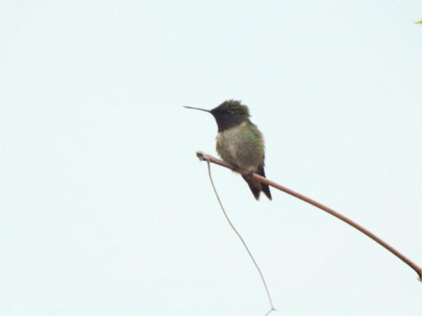 Ruby-throated Hummingbird.