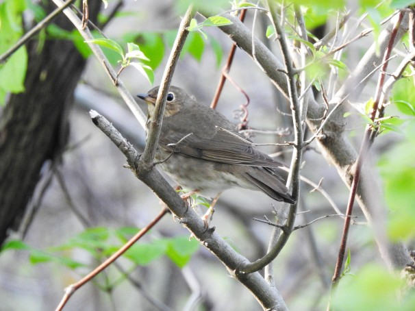 Swainson's Thrush [Olive-backed] at Magee Marsh in Ohio.