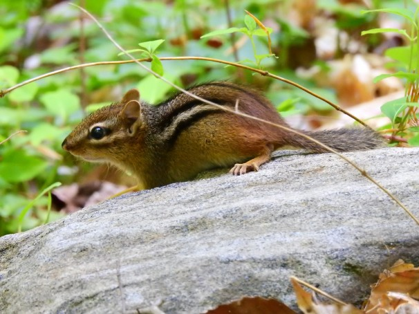 Eastern Chipmunk in Alapocas Woods, Delaware.