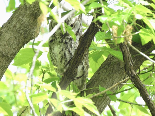 Eastern Screech-Owl [Gray Morph]