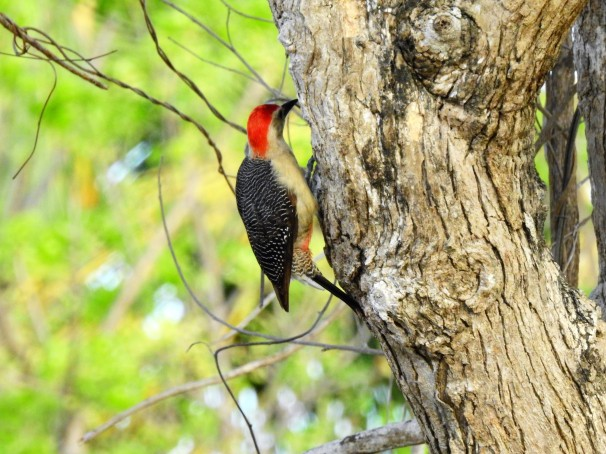 Golden-fronted [Velasquez's] Woodpecker (Male).