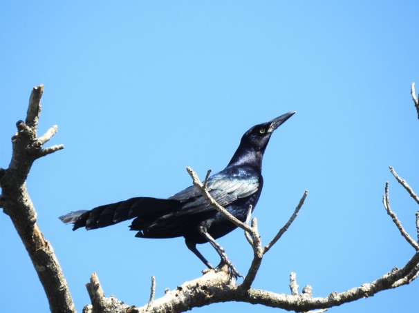 Great-tailed Grackle (Male) in Mexico.