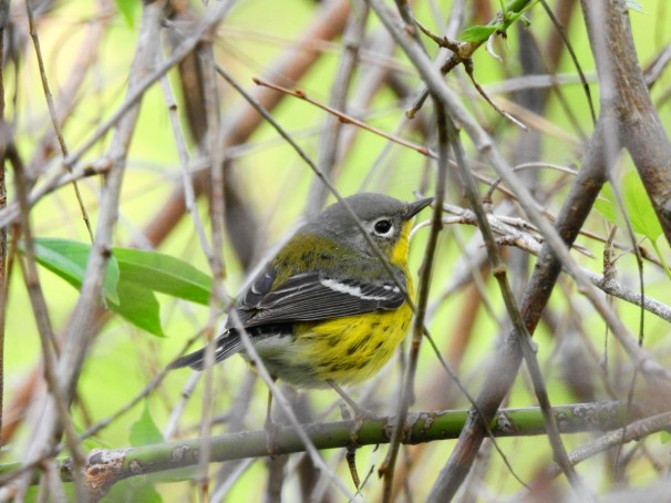 Magnolia Warbler at Magee Marsh in Ohio.