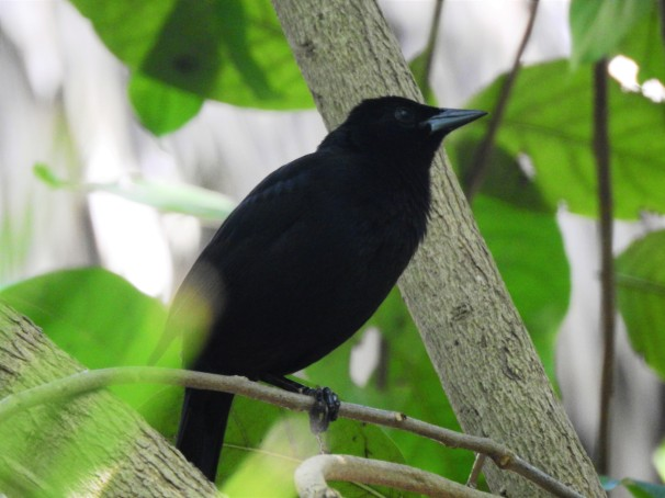 Melodious Blackbird in Mexico.