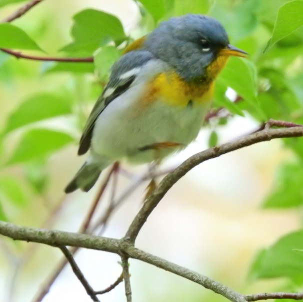Northern Parula at Magee Marsh in Ohio.