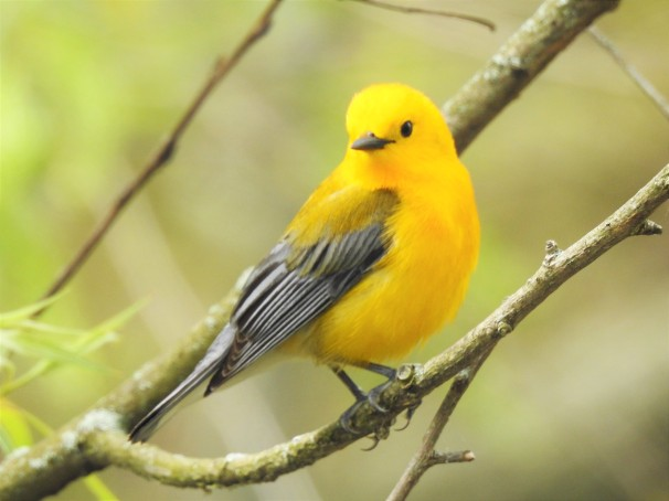 Prothonotary Warbler at Magee Marsh, Ohio.