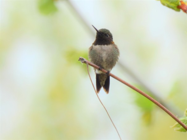 Ruby-throated Hummingbird in Pennsylvania.