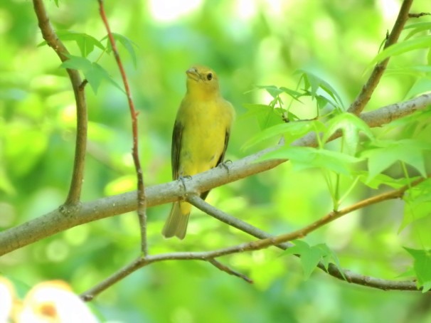 Scarlet Tanager (Female) in Pennsylvania.