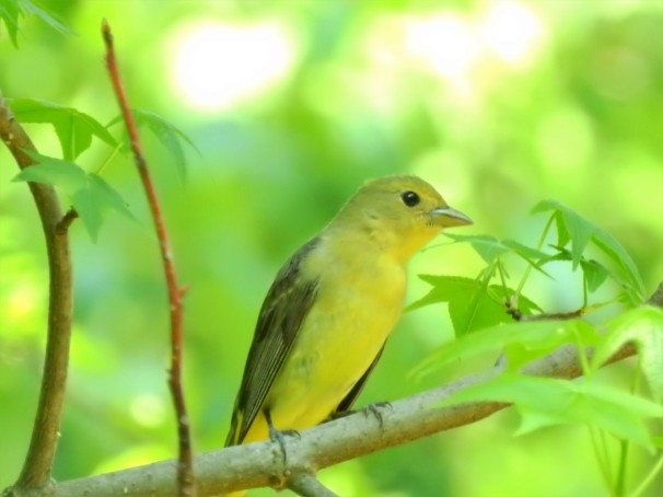 Female Scarlet Tanager in Pennsylvania.