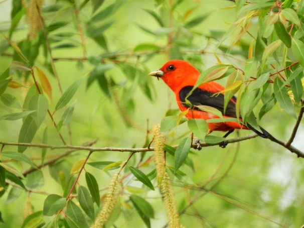 Scarlet Tanager (Male) in Ohio.