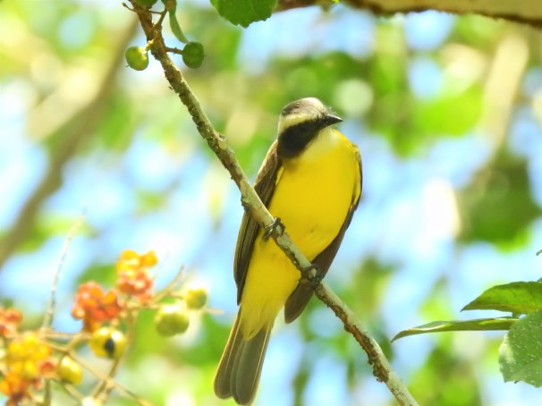 Social Flycatcher in Belize.