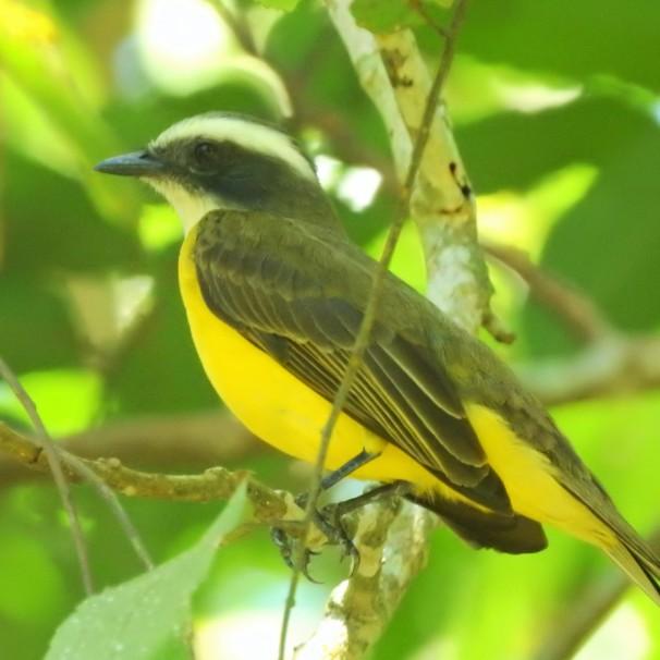 Social Flycatcher in Belize.