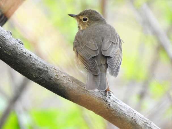 Swainson's Thrush [Olive-backed].