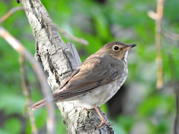 Swainson's Thrush [Olive-backed] in Ohio.
