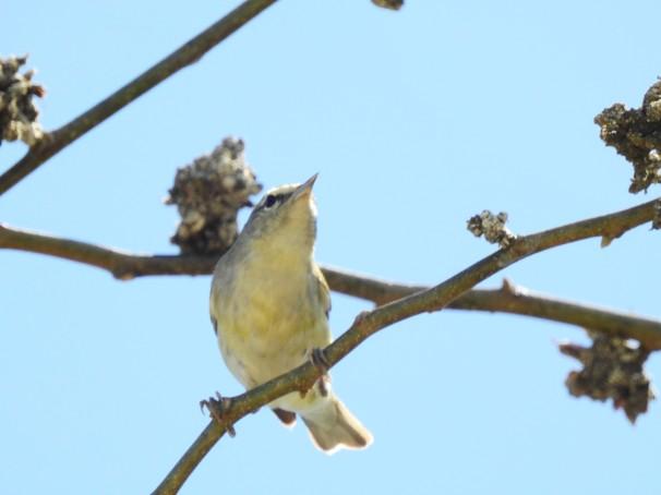 Tennessee Warbler in Roatan, Honduras.