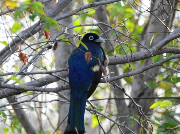 Black-headed Trogon in Costa Maya, Mexico.