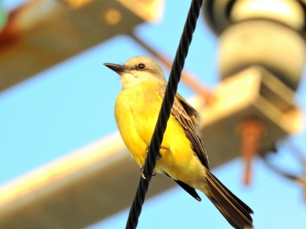 Tropical Kingbird in Roatan, Honduras.