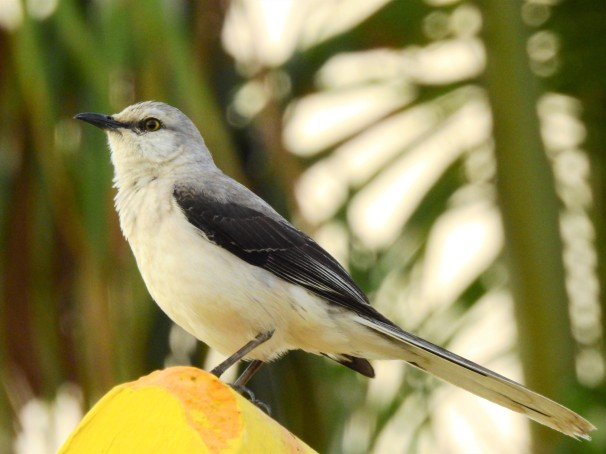 Tropical Mockingbird in Costa Maya, Mexico.