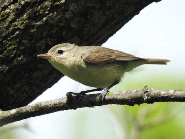 Warbling Vireo at Magee Marsh in Ohio.