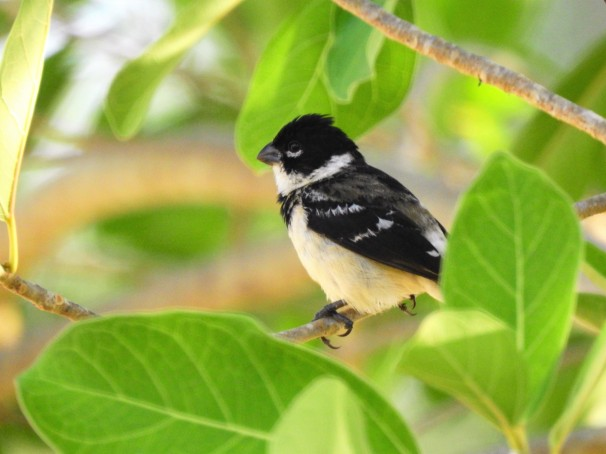 White-collared Seedeater in Costa Maya, Mexico.