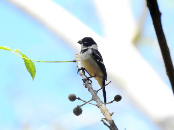 White-collared Seedeater in Belize.