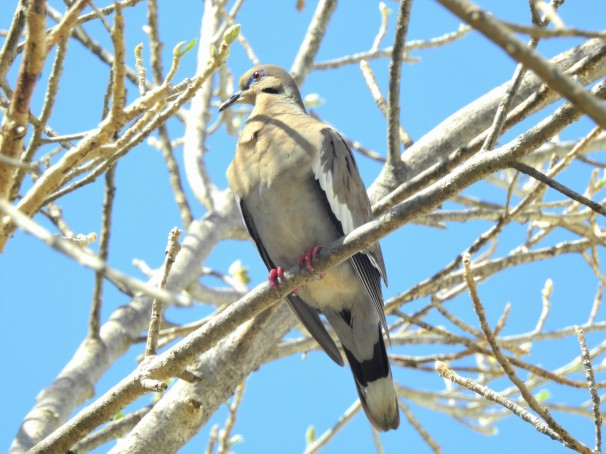 White-winged Dove in Mexico.