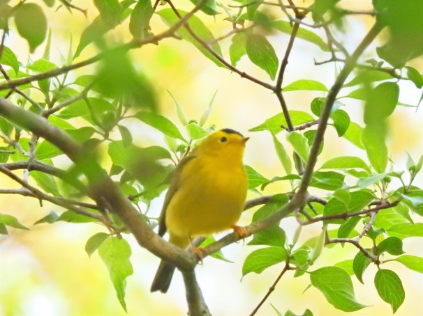 Wilson's Warbler at Magee Marsh in Ohio.