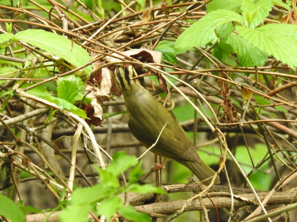 Worm-eating Warbler. New World warblers.