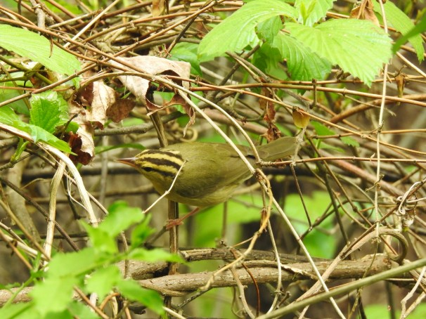Worm-eating Warbler in Pennsylvania. New World warblers.