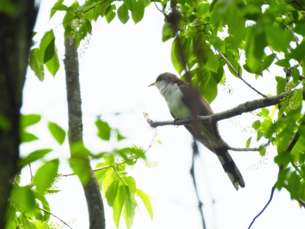 Yellow-billed Cuckoo in Delaware