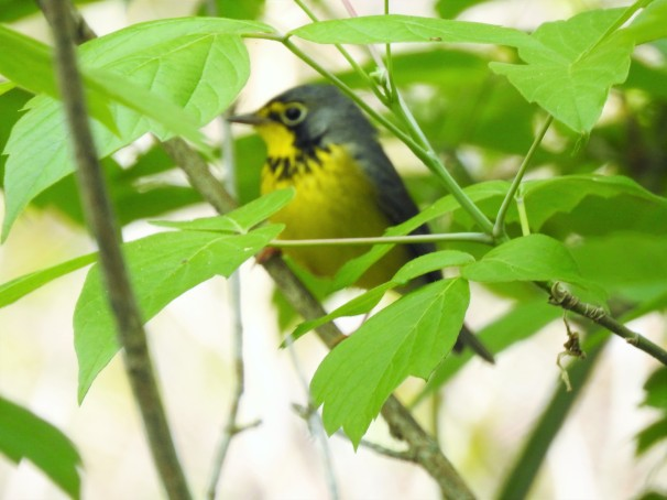 Canada Warbler at Magee Marsh in Ohio.