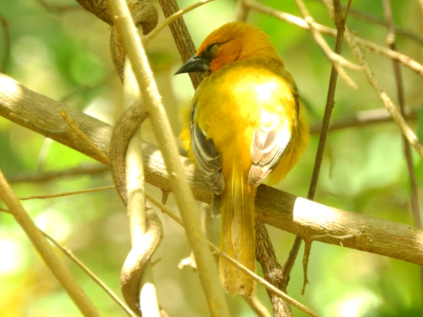 Female Altamira Oriole