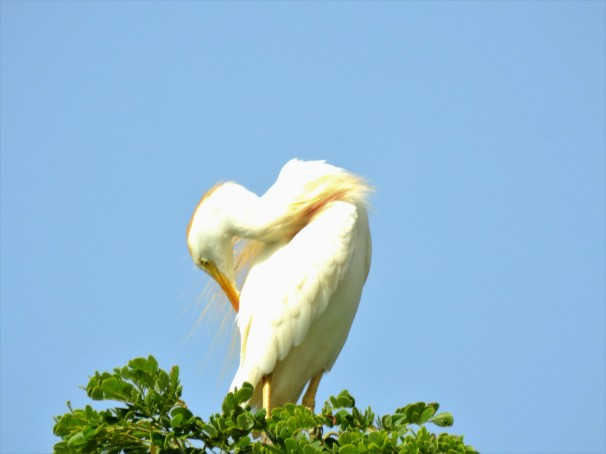 Cattle Egret preening.